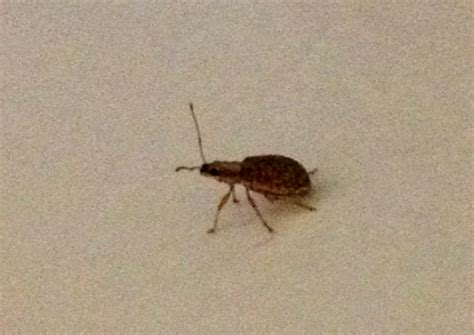 weevil bugs weevils invade hawaii at night what s that bug