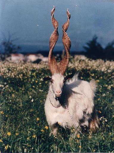 Spiral Horned Markhor Goat Of Kashmir Extremely