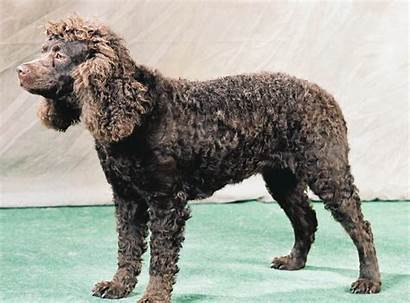 Spaniel Water American Dog Extinct Breeds Dogs