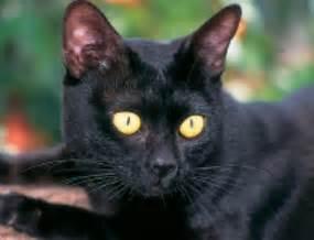 bombay cat bombay cats