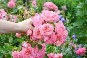 Rosen Schneiden Zeitpunkt : rosen im sommer schneiden wichtige hinweise und weitere pflegearbeiten ~ Frokenaadalensverden.com Haus und Dekorationen
