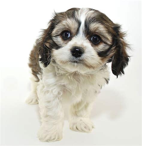 cavachon breed characteristics puppyspot
