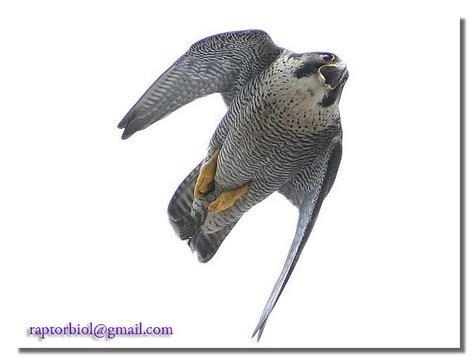 peregrine falcon - fastest diving bird | Peregrin Falcon ...