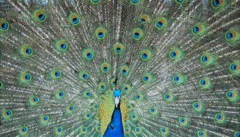 peacocks spread  feathers animals momme