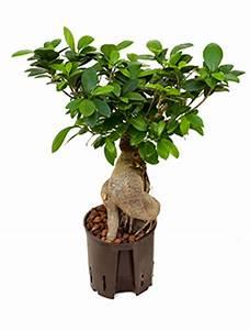 Hydrokultur Pflanzen Kaufen : hydrokultur pflanzen im kulturtopf 13 x 12 cm kaufen ~ Buech-reservation.com Haus und Dekorationen