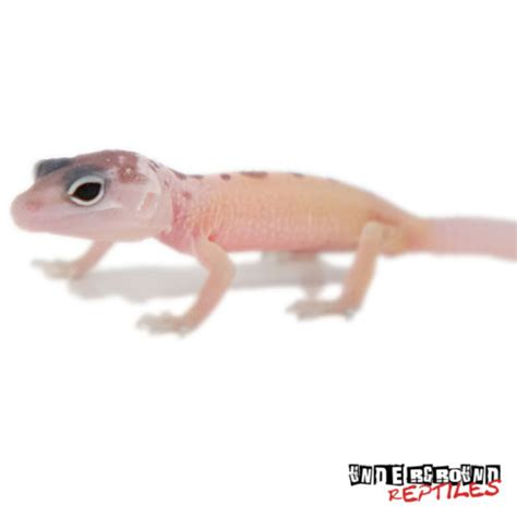 Do Baby Leopard Geckos Shed by Baby Blizzard Leopard Geckos For Sale Underground Reptiles