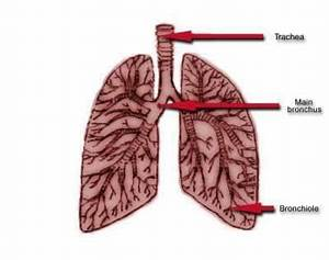 Your Lungs - An Asthma Attack