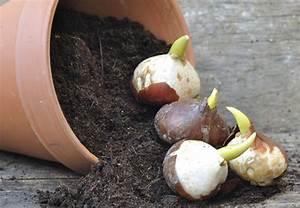Pflanzkörbe Für Blumenzwiebeln : bl hzeiten von zwiebel und knollenpflanzen obi gibt tipps ~ Lizthompson.info Haus und Dekorationen