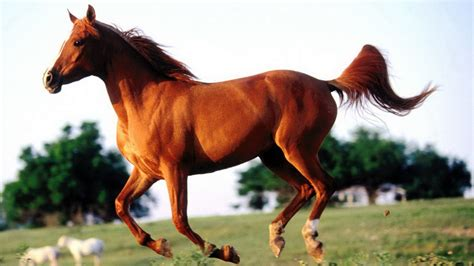 clydesdale horses wallpaper  images