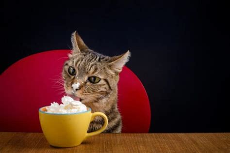 can cats eat cream cheese