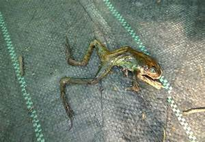 A Plague Of Frogs Leaves Residents Of Wimbledon Baffled