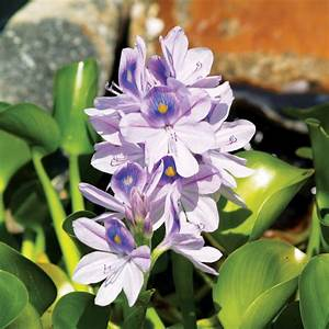 Water Hyacinth, Bundle of 3, Floating Plants: The Pond Guy