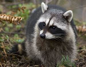 Raccoon Wallpapers | Animals Library