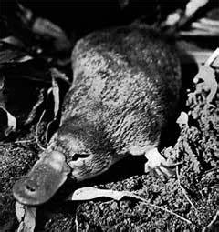 Gallery For > Platypus Eating Crayfish