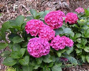 Hydrangea Macrophylla Winterhart : hydrangea macrophylla alpenglow alpengluhen woodleigh ~ Michelbontemps.com Haus und Dekorationen