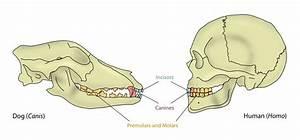 Teeth  Dentition