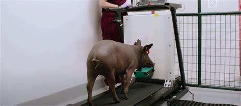 elon musk  update neuralink link  pig testing