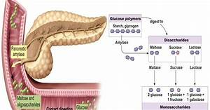 Carbohydrate Digestion Begins In The Mouth With Salivary