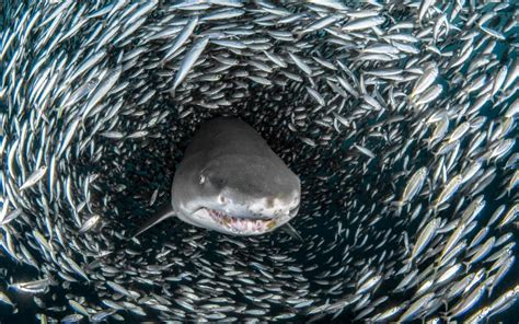 underwater capture sharks in fish tornado