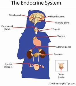 Endocrine System Hand