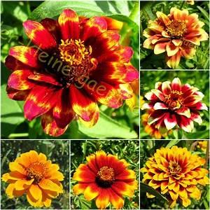 Zinnie Zinnien Perserteppich Farben Des Orients 50 Samen