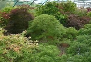 Erable Du Japon Entretien : conseils d 39 entretien pour les erables du japon erable du ~ Nature-et-papiers.com Idées de Décoration