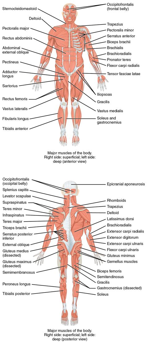 The human musculoskeletal system (also known as the human locomotor system, and previously the activity system1) is an organ system that gives the musculoskeletal system provides form, support, stability, and movement to the body. Types of Skeletal Systems | Boundless Biology