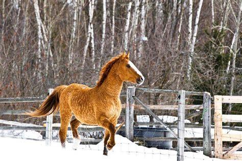 horse curly hypoallergenic bashkir winter allergy coat hugged season today cozy warm looks he american