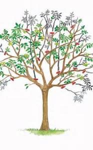 Kirschbaum Richtig Schneiden : walnussbaum richtig schneiden gardens bonsai and garten ~ Lizthompson.info Haus und Dekorationen
