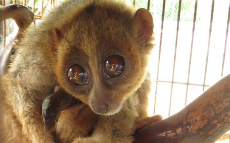 slow loris confiscated  drugs raid flown  britain