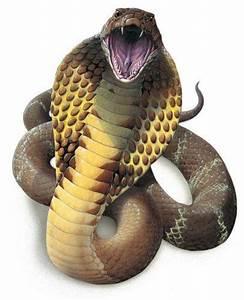 King Cobra Snake Hood Drawings
