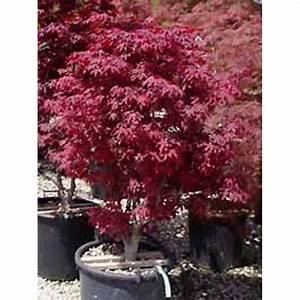 Roter Japanischer Ahorn : acer palmatum 39 atropurpureum 39 roter f cherahorn japanischer ahorn baumschule newgarden ~ Frokenaadalensverden.com Haus und Dekorationen