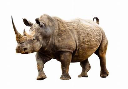 Animals Animal Wild Rhino Badak Africa Rhinos