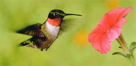 hummingbirds  migrating   area