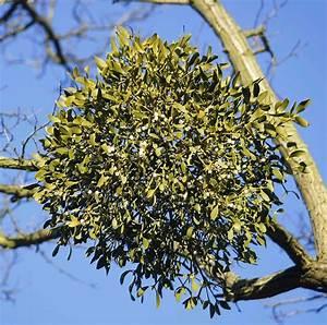 How Mistletoe Became Everyone's Favorite Parasite