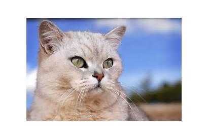Burmilla Cat Breed Wallpapers Cats Animals Colors
