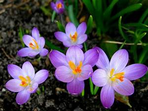 Crocuses Beautiful Purple Flowers Detsktop Wallpaper Hd