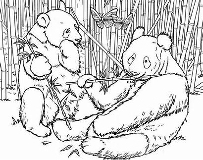 Coloring Panda Urs Bamboo Colorat Ausmalbilder Giant