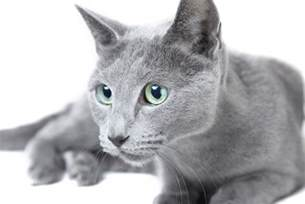 russian blue cat pictures 8 facts about russian blue cats mental floss