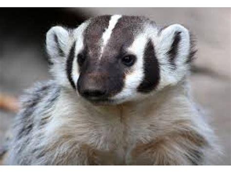 true nature  american badger   susan