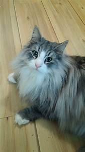 25 best images about Norwegian Forest Cats - Skogkatt on ...