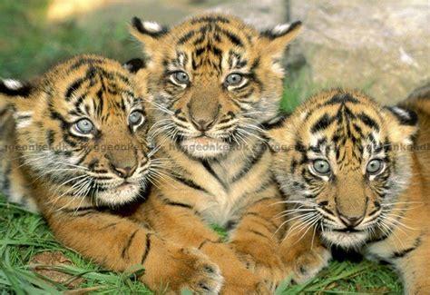 tigerunger  brikker  kobes  fragt  kr