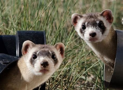 photo black footed ferrets