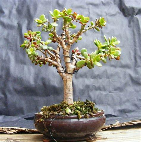 bonsai jade trees crassula tree plants care ovata plant succulent leaves thick easy dwarf garden upright fleshy google trunk balconygardenweb