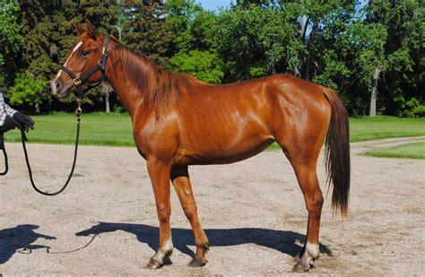 quarter registered horses mares frost smart freckles doc badger peppy sugar bars san bar