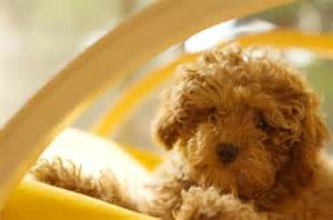Medium Hypoallergenic Dog Breeds