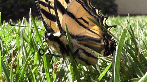 Bid Up Big Butterfly Up Hd