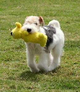 487 best Fox terrier pelo de alambre images on Pinterest ...