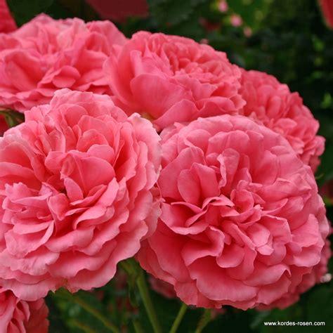 rosarium uetersen hecken verwendung kordes rosen