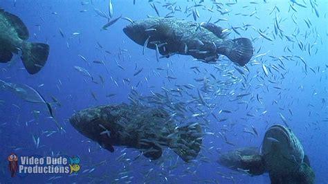 goliath grouper aggregation dude